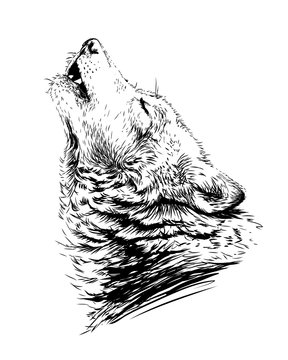The wolf howls.Sketchy, graphical,  portrait of a wolf head on a white background.