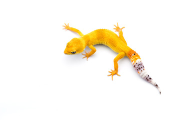 The common leopard gecko isolated on white background  Wall mural