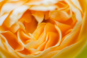 Yellow rose close up macro picture of petals