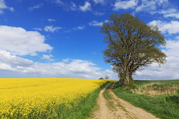 Landschaft mit Rapsfeld, Getreidefeld, Feldweg, Eichen und blauem Himmel mit Wolken in der Holsteinischen Schweiz Schleswig-Holstein, Deutschland
