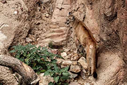 Mountain Lion walking away on a rocky surface and looking to the left.