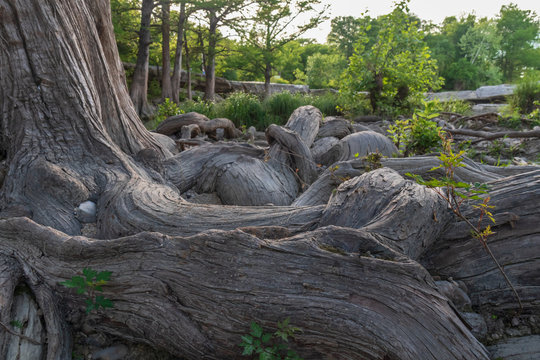 Large tree and roots at McKinney Falls State Park, Austin, Texas