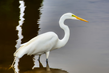 A closeup of a great white egret wading in a salt-marsh. Fotoväggar