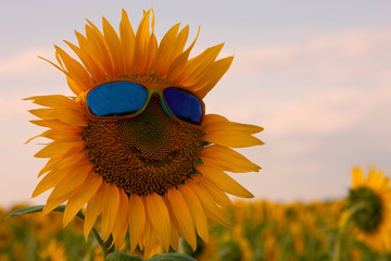 Orange sunflower with a smile in yellow sunglasses with blue glasses in a field of sunflowers Fototapete