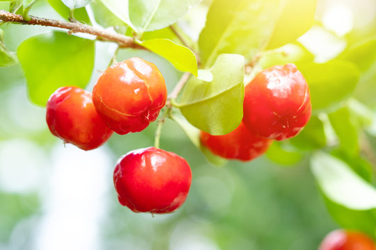 Acerola cherry of thailand on three. Select  focus, Barbados cherry, Malpighia emarginata, high vitamin . Acerola fruit.