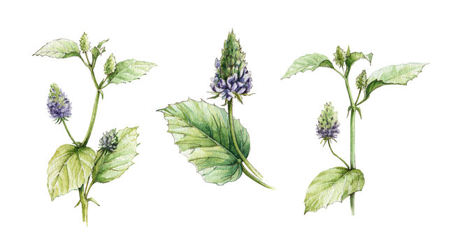 Psoralea corylifolia herb watercolor illustration set from flowers and leaves. Hand drawn organic heathy Bakuchiol herbs - natural Retinol. Isolated on white background.