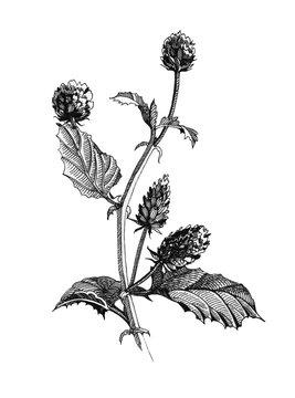 Black ink botanical illustration of Psoralea corylifolia herb, flowers and leaves. Hand drawn graphics of natural heathy Bakuchiol herbs - natural retinol