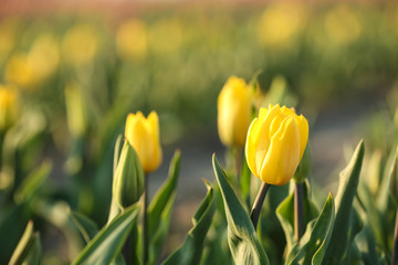 Fresh beautiful tulips in field, selective focus. Blooming flowers