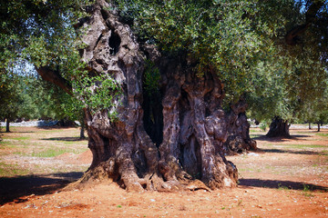 Apulian countryside with old olive trees, Puglia, Italy