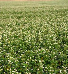 Fototapete - Field of buckwheat and close up of buckwheat blossom. Buckwheat agriculture