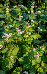 Fototapete - Close up of buckwheat blossom. Buckwheat agriculture