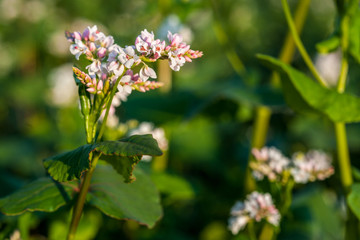 Wall Mural - White petal of buckwheat flower on the field. White buckwheat.