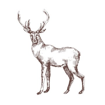Red deer hand drawn with contour lines on white background. Elegant sketch drawing of wild forest animal with antlers, hoofed ruminant mammal. Monochrome vector illustration in vintage etching style.