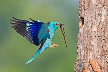 European roller, Coracias garrulus, landing on bark of tree in summer with copyspace. Blue bird with a snake in beak from side view. Wild animal with blurred background.