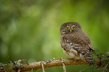Glaucidium passerinum. It is the smallest owl in Europe. It occurs mainly in northern Europe. But also in Central and Southern Europe. In some mountain areas. Photographed in the Czech Republic. Wild