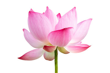 Garden Poster Lotus flower Pink Lotus flower isolated on white background.File contains with clipping path so easy to work.