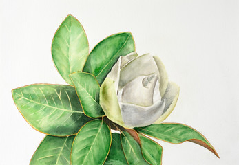 Magnolia branch with leaves and white flower isolated on white background