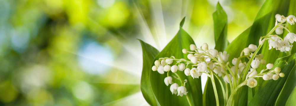 image of beautiful spring flowers of lily of the valley in the garden on blurred green background.Lilies of the valley are the first flowers in May