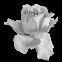 isolated monochrome rose blossom macro,black background, bright fine art still life image of a single bloom with detailed texture