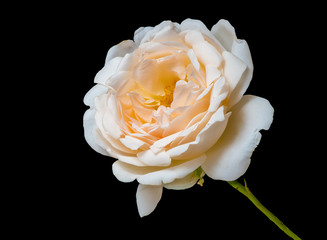 isolated orange white rose blossom macro,black background, color fine art still life image of a single bloom with stem,detailed texture