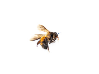 The picture of dead bees on a white background is suitable for use in educational work.