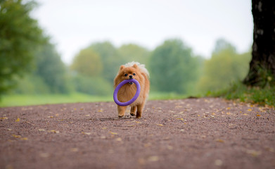 Little red dog breed Spitz autumn in the Park is beautiful on a wide path and carries a ring in his mouth