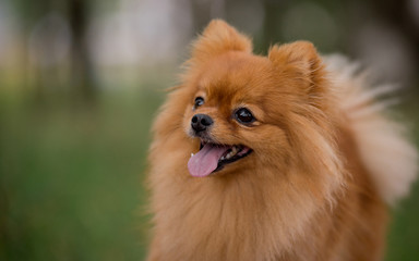 Portrait of a Little red dog of the Spitz breed in autumn in the Park