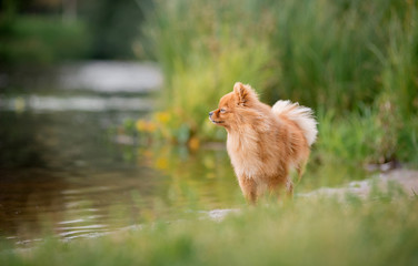 The little red-haired dog breed Spitz fall is on the lake and looking to the side