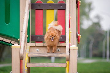 Little red dog breed Spitz autumn in the Park on the Playground, sitting on a hill