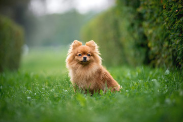 Little red dog breed Spitz autumn sitting on the grass in the alley of bushes