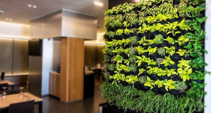 Living green wall, vertical garden indoors  in modern restaurant.