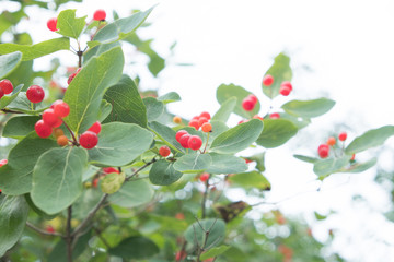 Branch with red berries against the sky. Green shrub with large fruits. Summer, cloudy day.