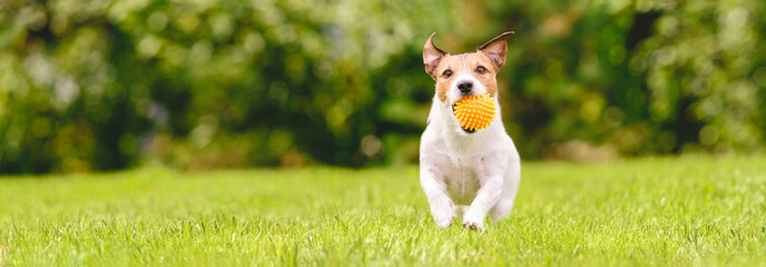 Small happy dog playing with pet toy ball at backyard lawn (panoramic crop with copy space)
