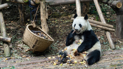 A cute adult Giant panda eating bamboo and sitting on the ground, China