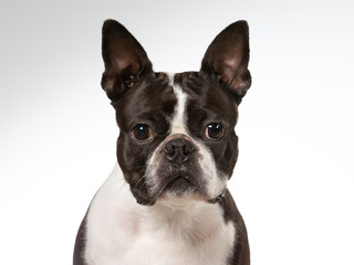 Boston terrier dog portrait. Image taken in a studio with white background. Isolated on white.