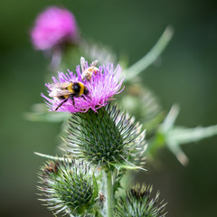 Buff-tailed bumblebee (Bombus terrestris) gathering pollen from a Thistle