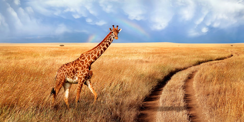 Wall Mural - A lonely beautiful giraffe in the hot African savanna against the blue sky with a rainbow. Serengeti National Park. Tanzania. Wildlife of Africa. Wide format.