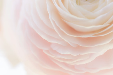 Beautiful soft tender background of cream ranunculus flower petals close