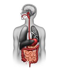 Fototapeta The human digestive system obraz