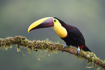 La pose en embrasure Toucan Yellow-throated toucan sitting on moss branch