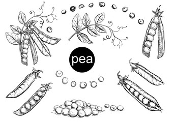 Detailed hand drawn ink black and white illustration set of pea pods and peas, flowers. sketch. Vector eps 8