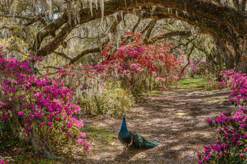 Fotobehang Pauw Lane of Oaks with peacock