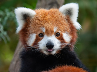 Keuken foto achterwand Panda Endangered Red Panda in Captivity