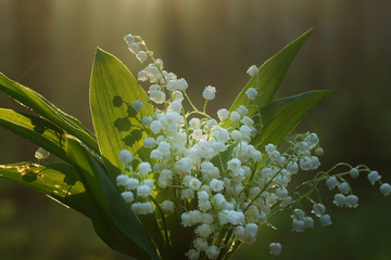 Wall Murals Lily of the valley Delicate bouquet of lilies of the valley with dew drops on green leaves
