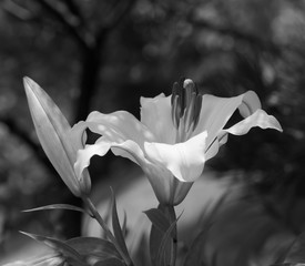 Printed kitchen splashbacks Flowering lily in the garden in the summer. Black background.Black and white photo.
