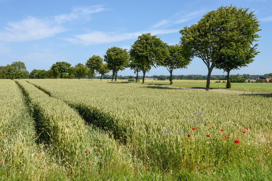 Wheat field and trees in Denmark
