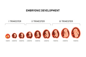 Pregnancy fetal foetus development . Embryonic month stage growth month by month cycle from 1 to 9 month to birth. Medical infographic elements isolated on white background. Flat vector illustration