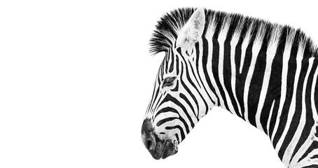 Aluminium Prints Zebra Burchells Zebra on a white background