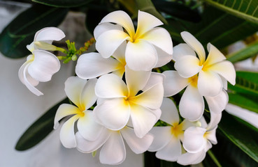 Photo sur Aluminium Frangipanni Close up white plumeria flowers or Leelawadee called in Thai, frangipani tropical blooming on tree , spa flower in Thailand