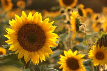 Fototapete - Sunflower - Helianthus annuus in the field at dusk